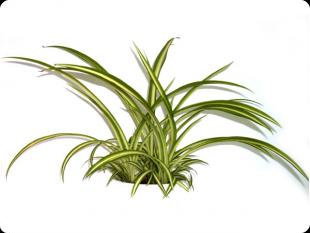 Natix - Rankende zimmerpflanzen ...
